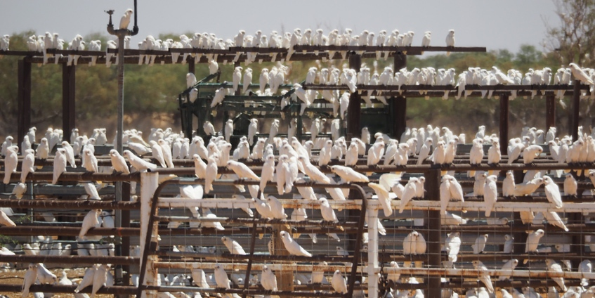 A conference of corellas who came from far and wide.