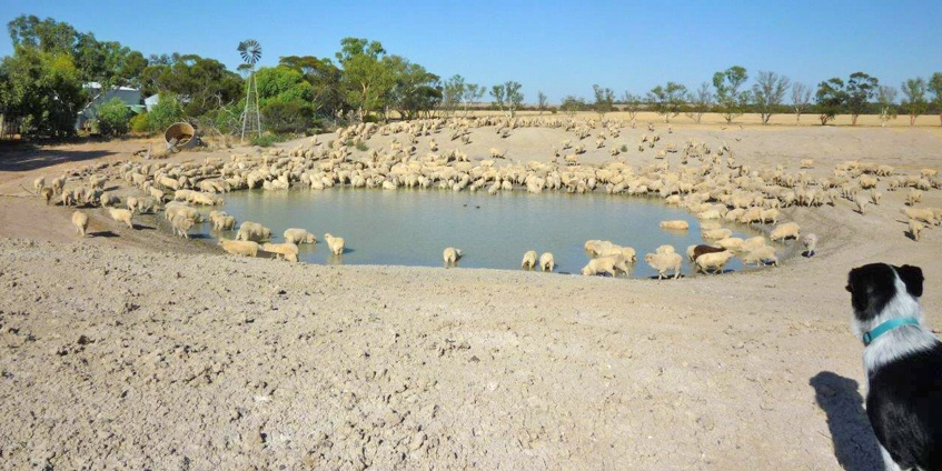 Job done – sheep to water