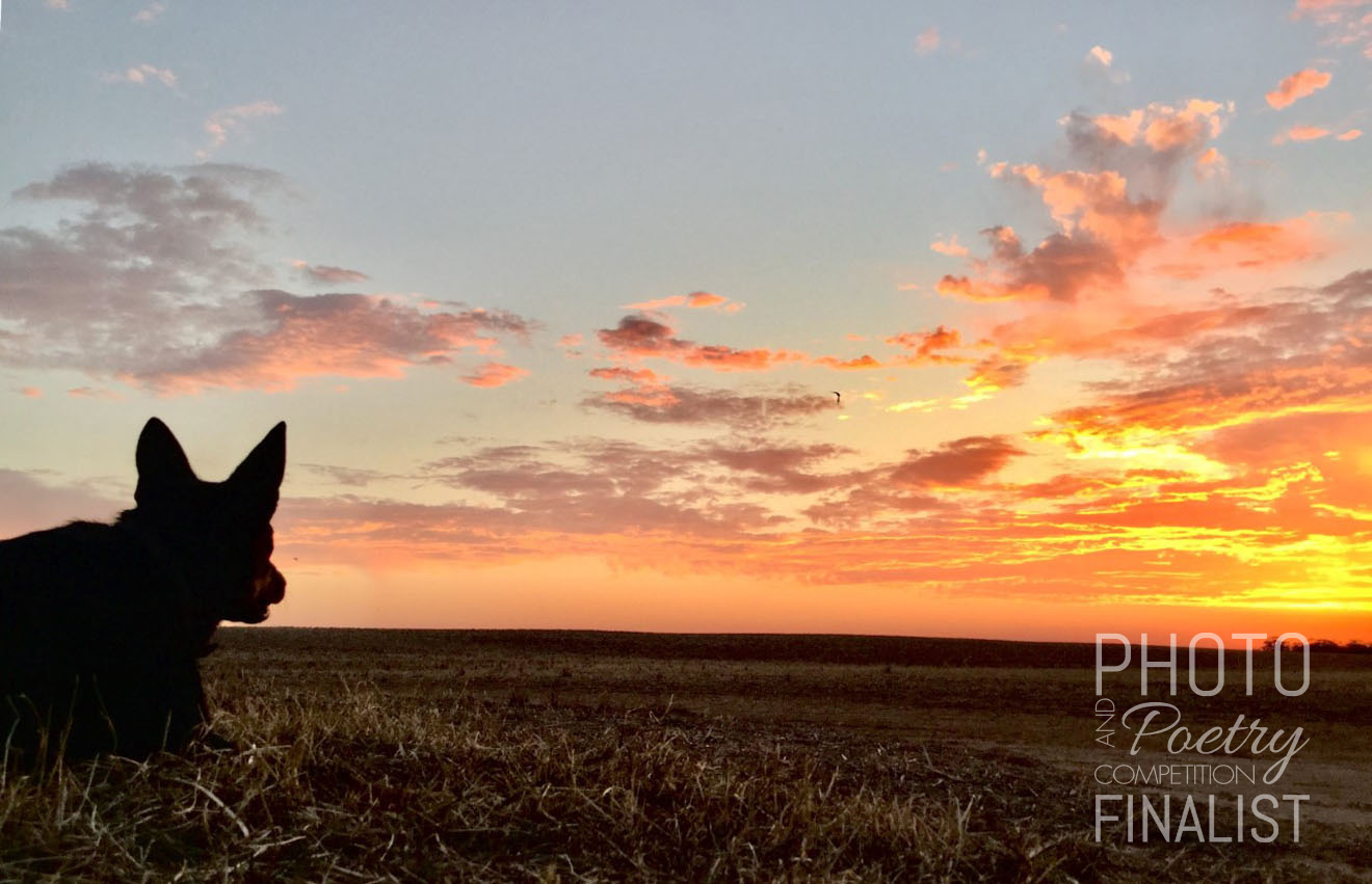 Jed - This picture of our pup Jed shows him resting after a long day of working sheep and enjoying and watching the sunset peacefully out in the paddock. RHIANNA O'BRIEN, Speed, VIC