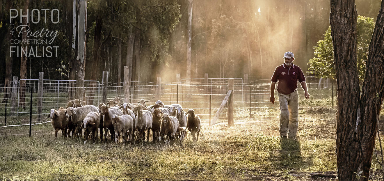 The farmer - Taken on the Awassi Farm located in the Lockyer Valley, Queensland. The farm is owned by the photographer's brother David Piggott and his wife Di. The image was taken in the late afternoon light, giving a soft aura to the dusty shepherding that is both David's passion and income. The photograph captures the agricultural scene reminiscent of pioneering history paintings. David is both confident and at ease with his sheep and the Australian bush. It is satisfying to view David mid-stride as he walks away from the paddock—satisfied by the day's toil. WENDY GIBSON, Moil, NT